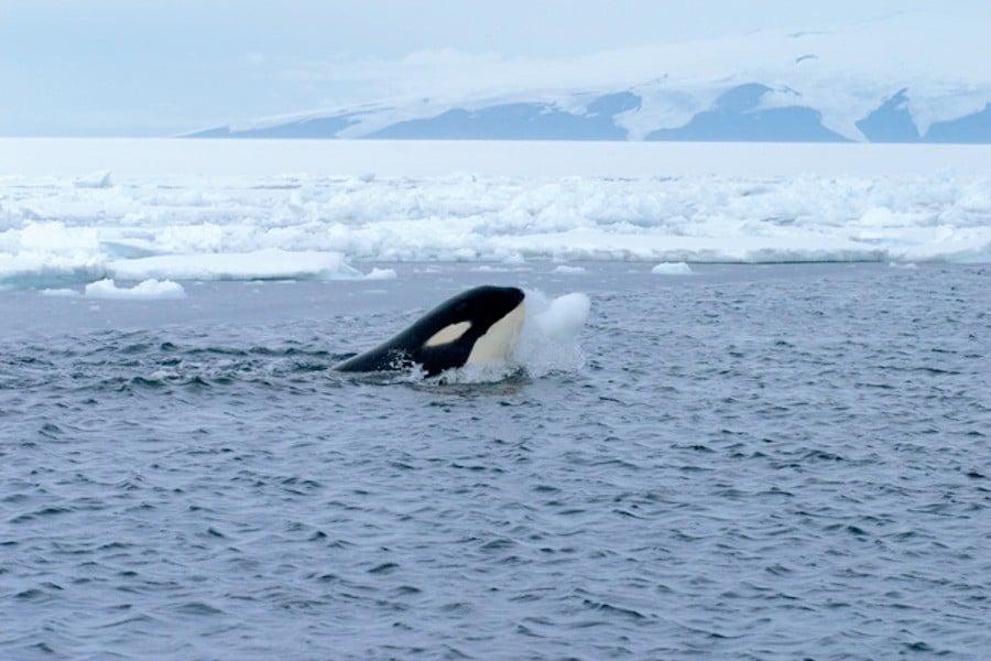 Arctic Orca