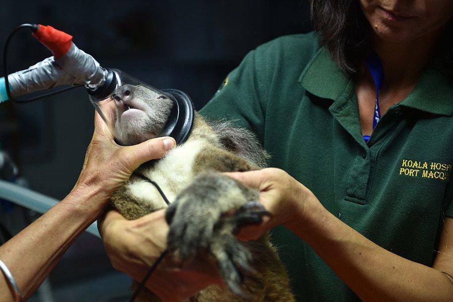 Koala Conservation Face Mask