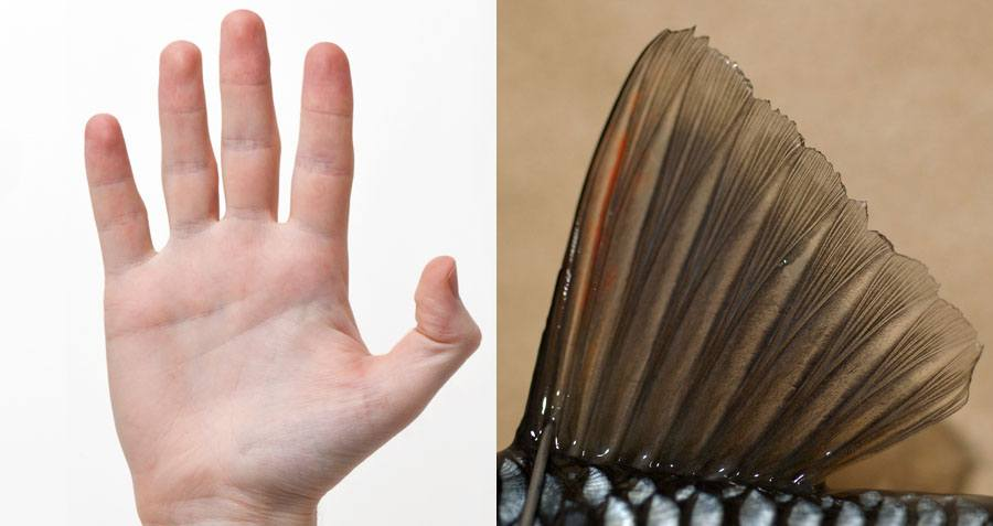 Your Hands And Feet Evolved Directly From Fish Fins, New ...