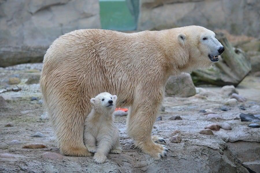 Mom Protecting Cub