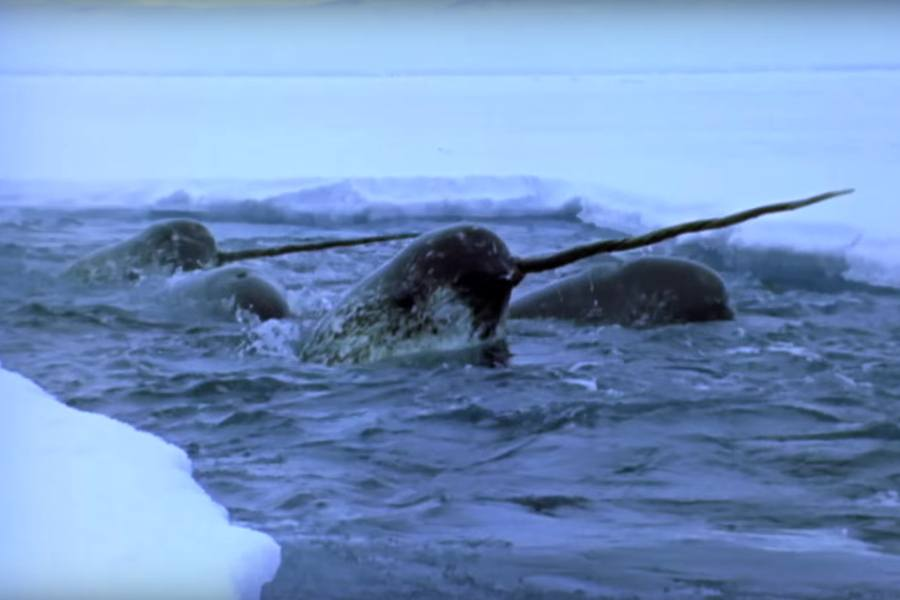 Narwhals Ice