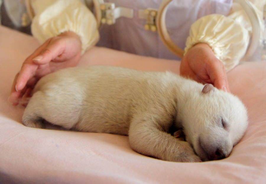 Newborn Polar Bear Resting