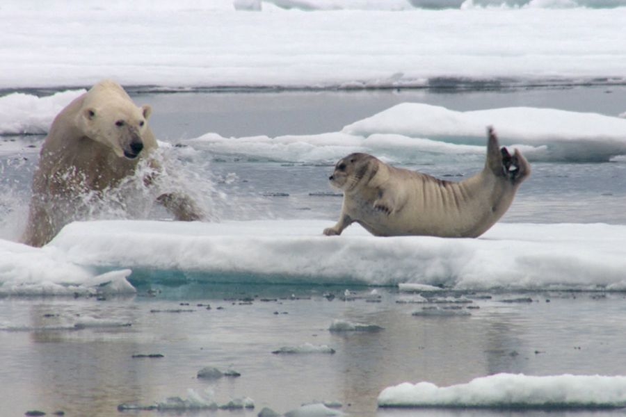 Polar Bear Hunt