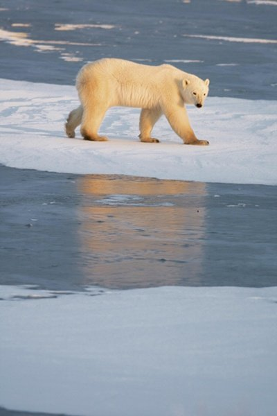 Polar Bear Ice Sheet