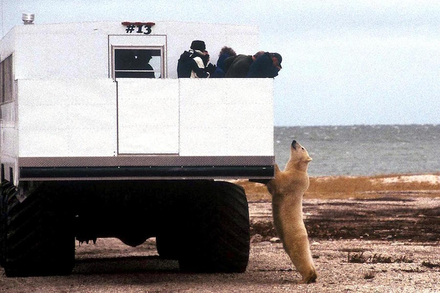 Polar Bear Manitoba