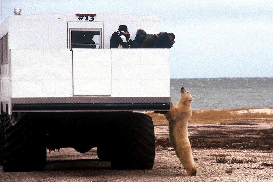 Polar Bear Manitoba