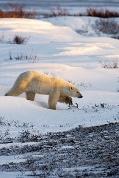 Polar Bear Walking Snow
