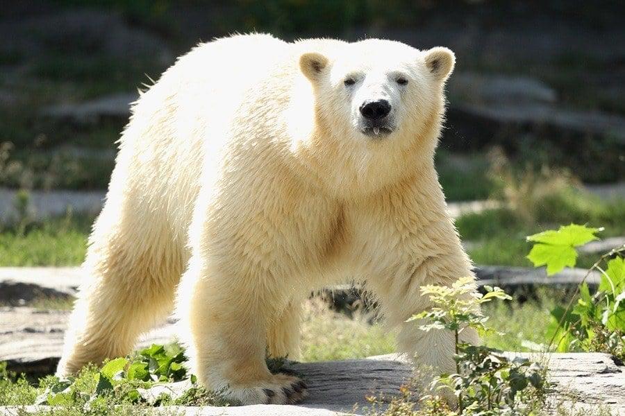 Staring Polar Bear
