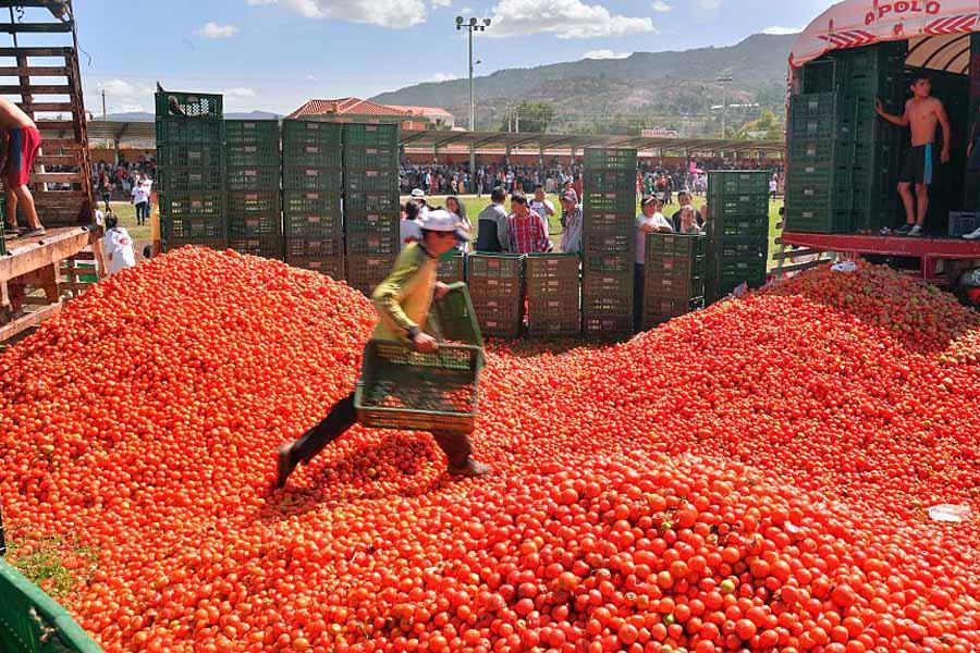 La Tomatina Festival Tomato Stockpile