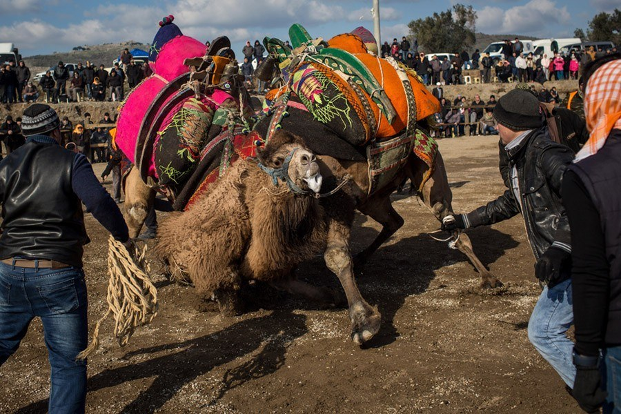Camel Wrestling Fallling