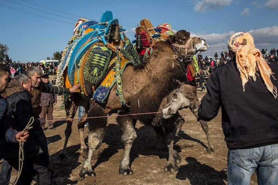 Camel Wrestling Necks
