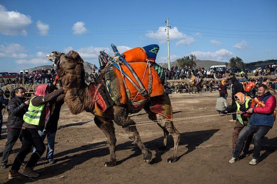 Camel Wrestling Rope