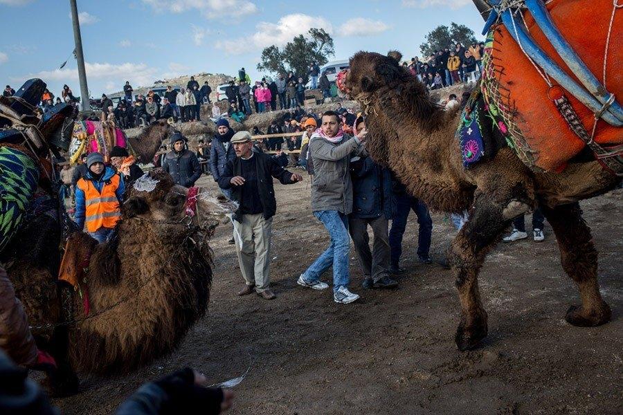 Camel Wrestling Sober