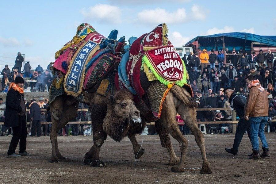 Camel Wrestling Teodora