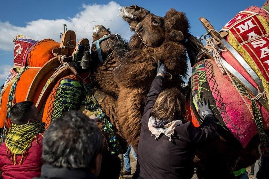 Camel Wrestling Upclose