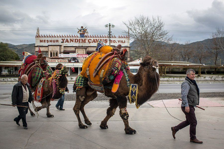 Camels On The Street