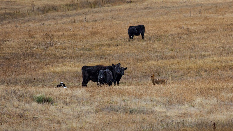 Cows Coyotes