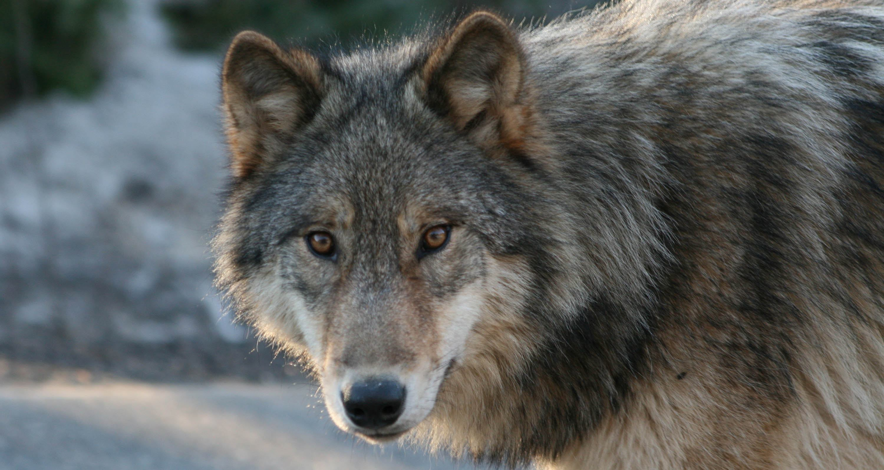 Featured Wolf Jethro Taylor