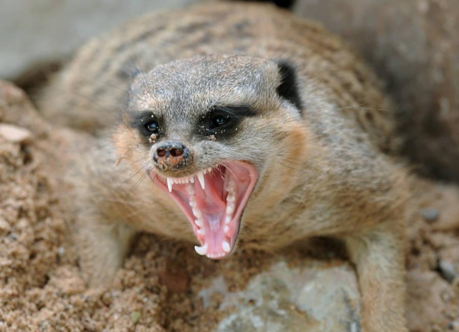 Meerkat Teeth