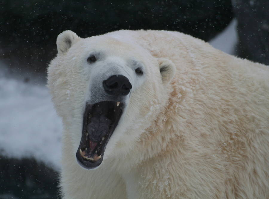 Polar Bear Teeth