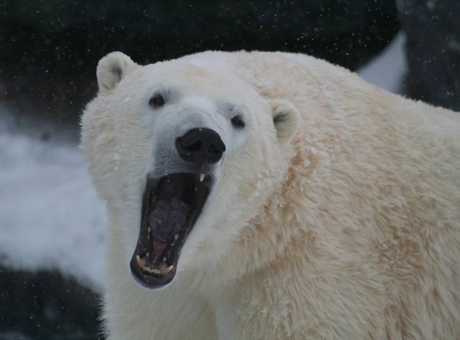 Polar Bear Teeth