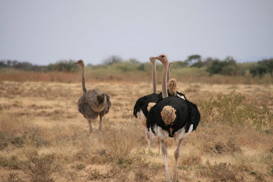 Roaming Ostriches