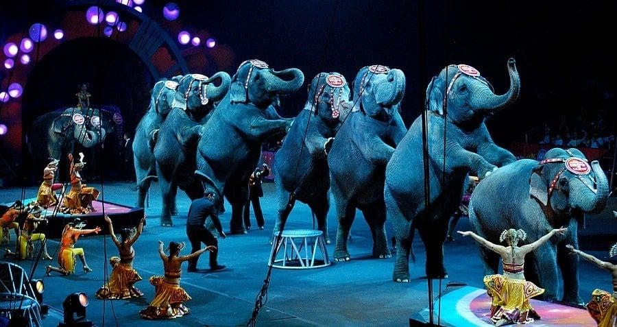 Circus Elephants Standing Line