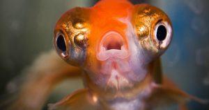 Large Eyeballs Goldfish