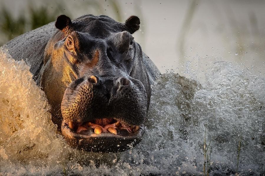 Nat Geo Hippo