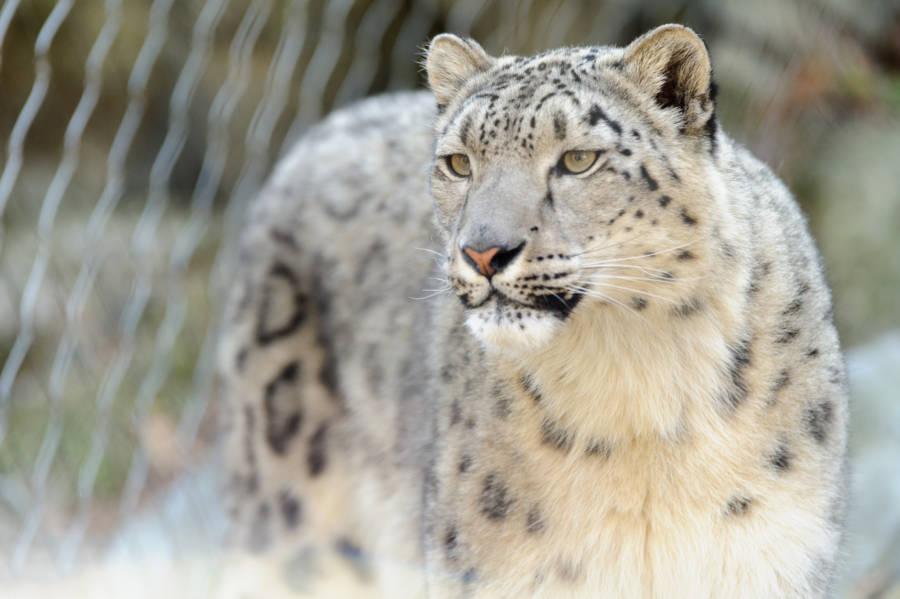 Snow Leopard Gaze