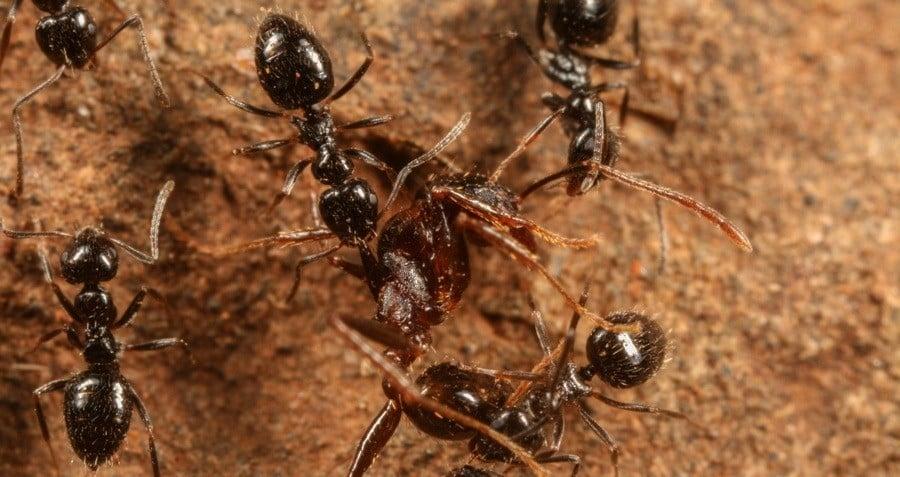 Lepisiota Ants