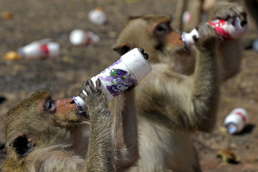 Monkey Probiotic