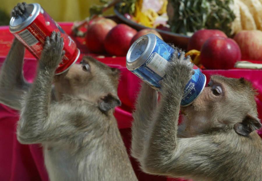 Monkeys Soda Can