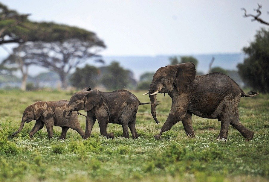 Tuskless Elephants