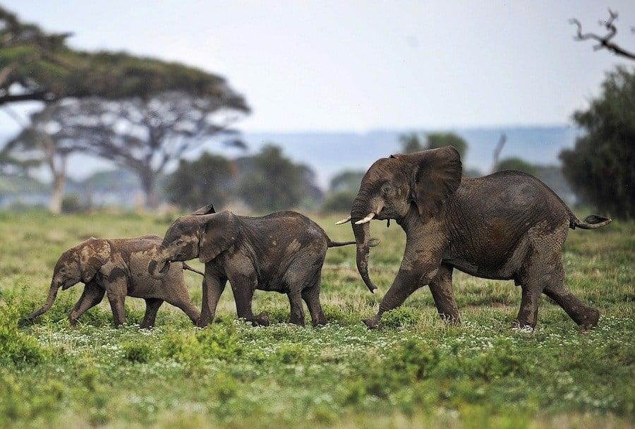 Tuskless Elephants Copy Jpg