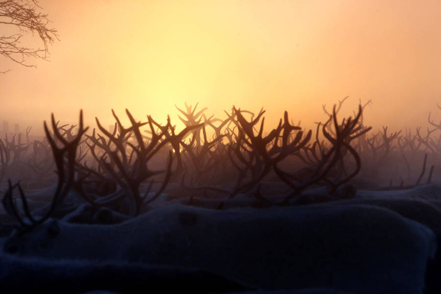 Reindeer Sunset