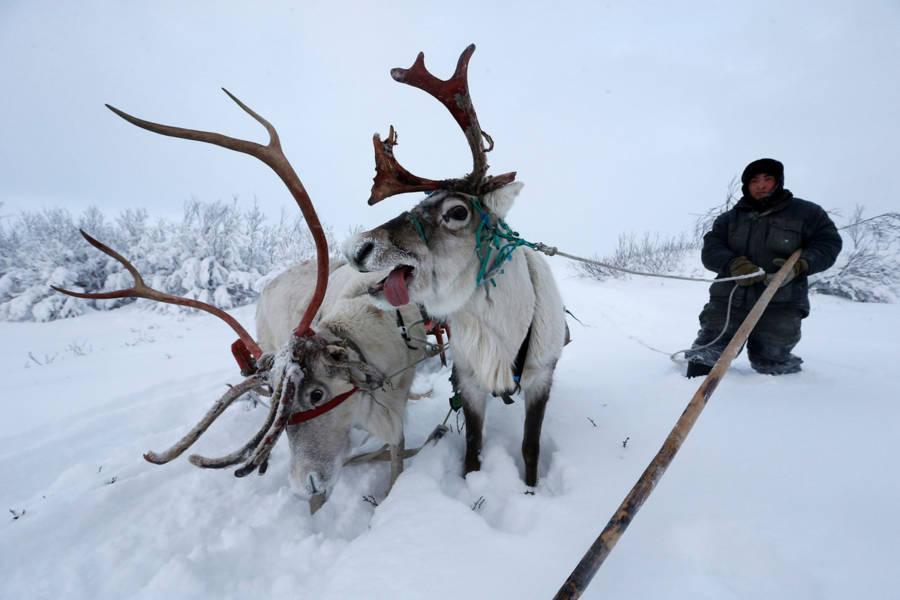 Reindeer Tongue