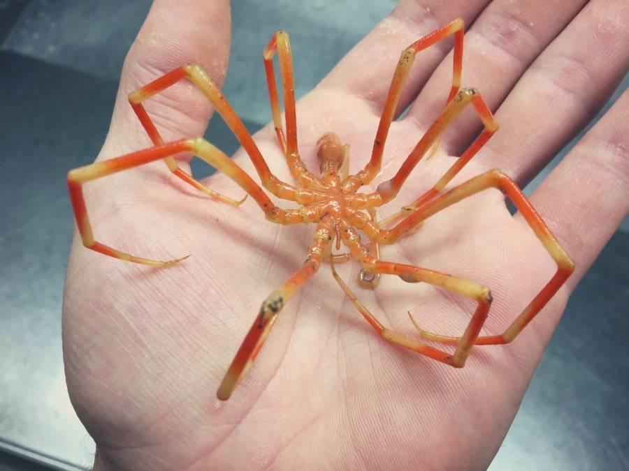 Spider Crab In Hand