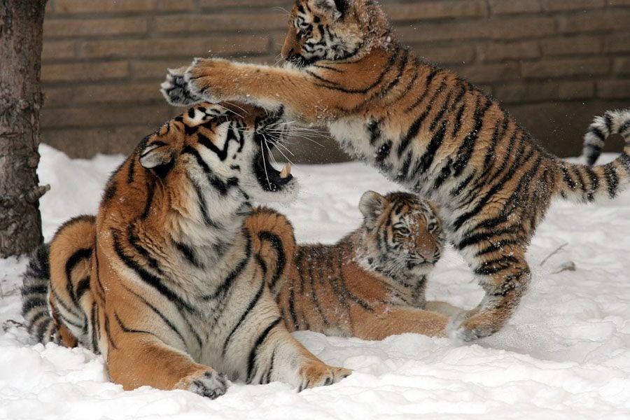 Tiger Population