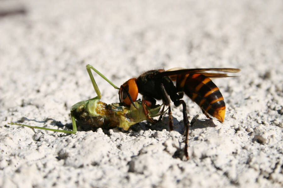 Giant Hornet Feeding On Mantis