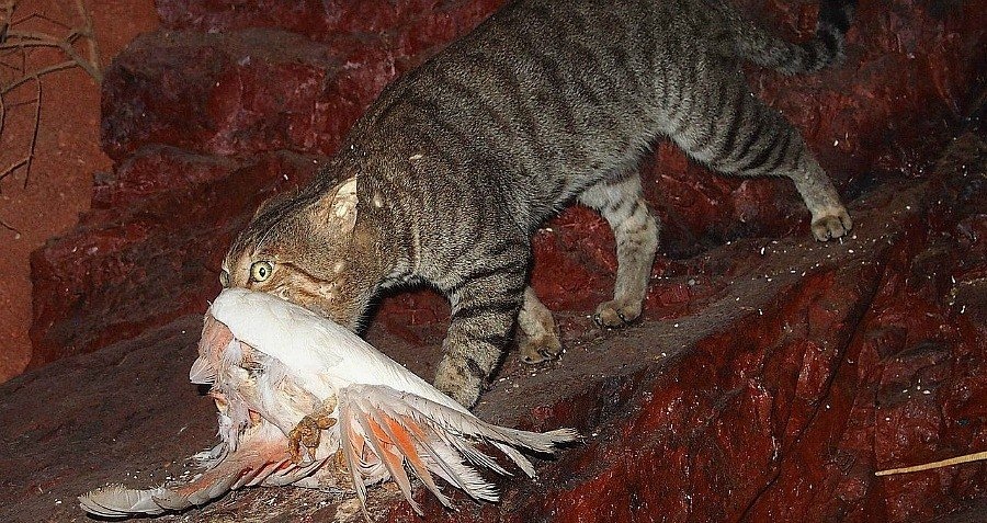 Gray Cat Dead Bird Feral Australia