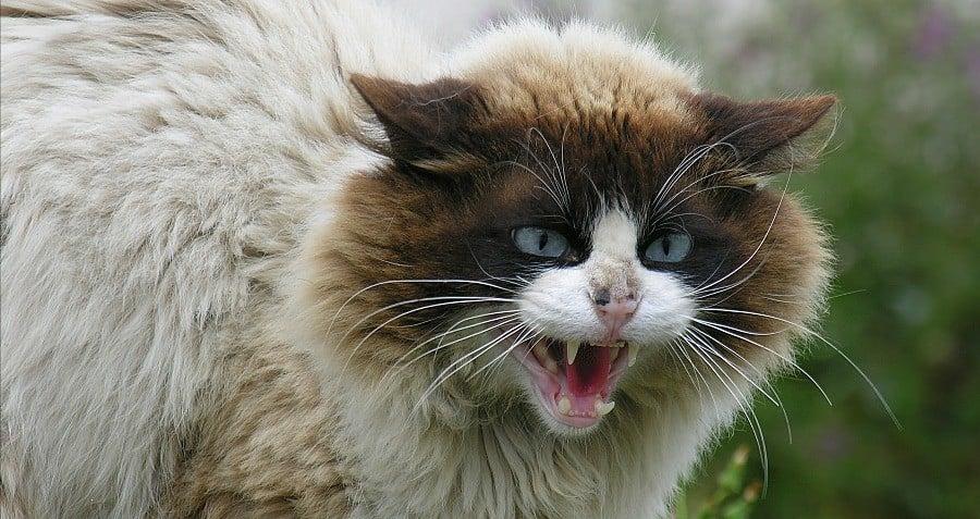 Hissing Cat Fluffy Feral Australia