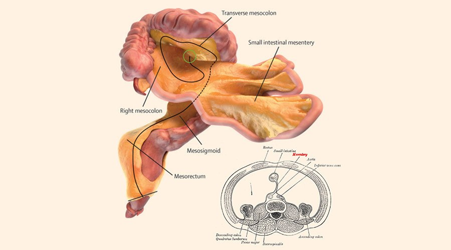 Mesentery New Human Organ