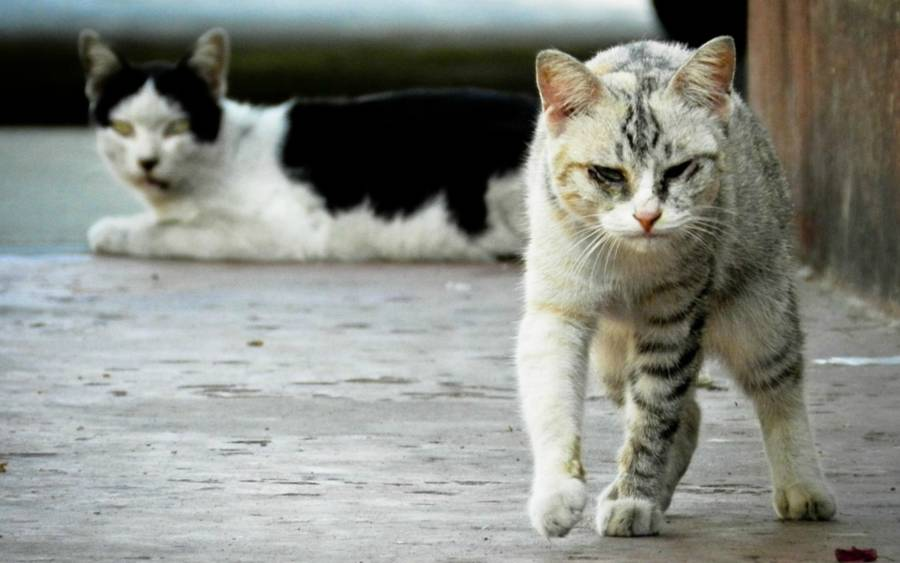 White Black Street Cat Feral Australia