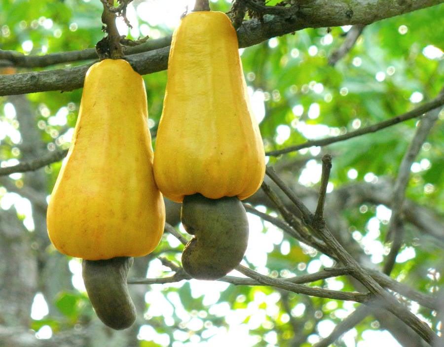 Cashew Yellow