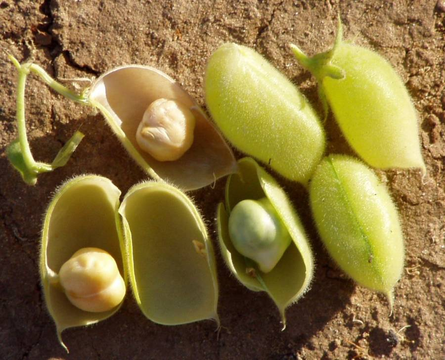 Chickpea Pods