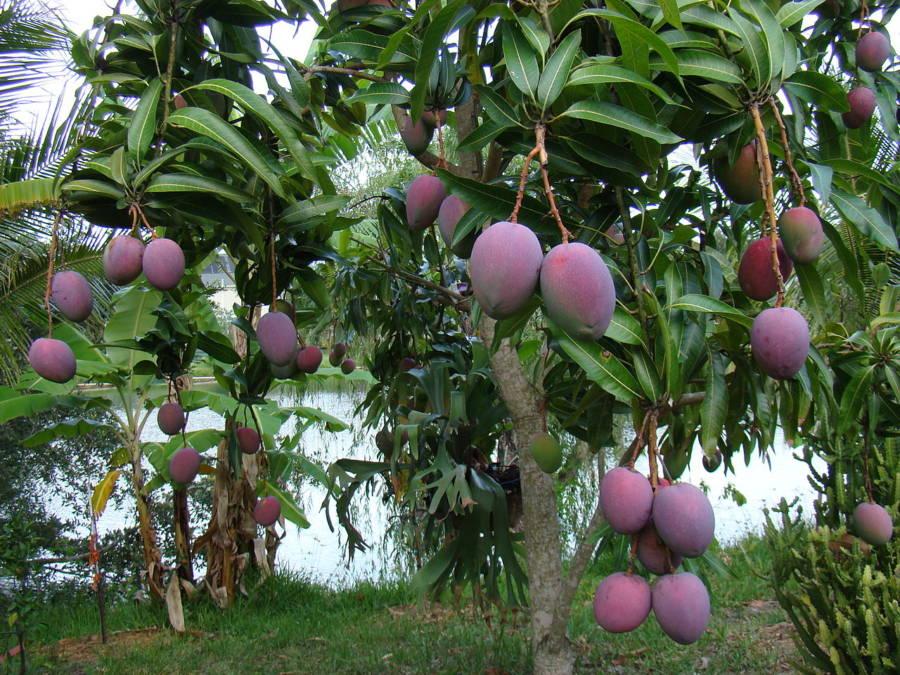 Mango Purple
