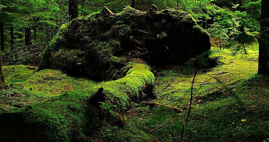 Moss Fallen Tree Stump Network Forest