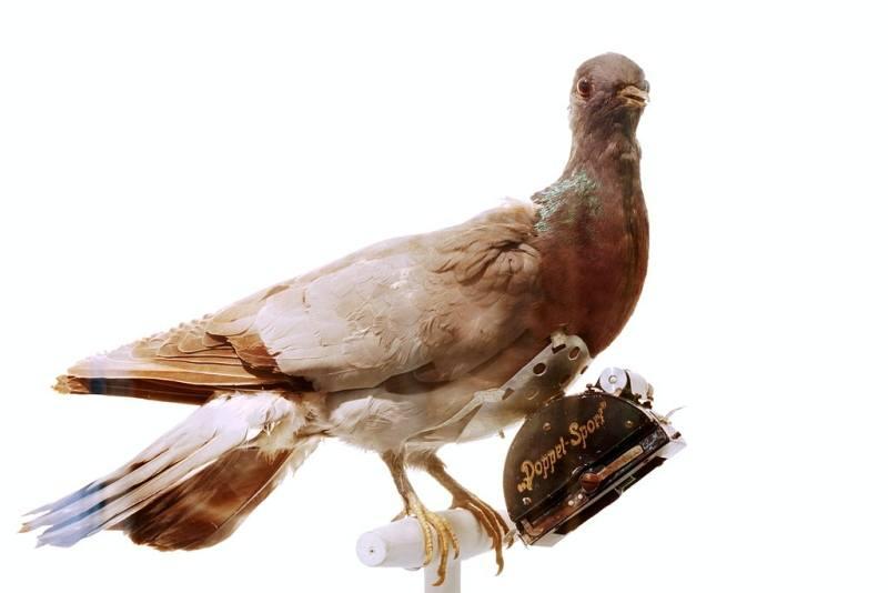 Pigeon Doppel Sport Taxidermy