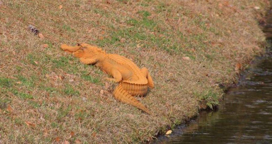 Trumpagator Orange Alligator
